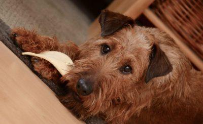 Cuidar la alimentacion de un perro adulto