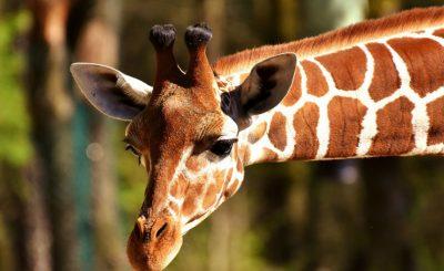 La jirafa el único animal mudo